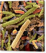 Toddlers Feces With Bifidobacteria, Sem Canvas Print