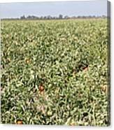Tomato Field, California Canvas Print