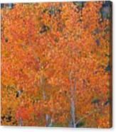 Translucent Aspen Orange Canvas Print
