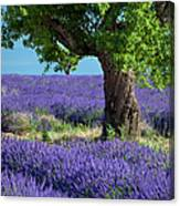 Tree In Lavender Canvas Print