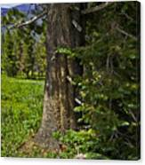 Tree In Vail Canvas Print
