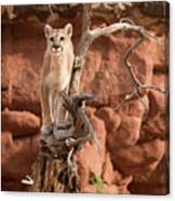 Treed Mountain Lion Canvas Print