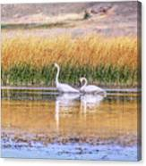 Tranquil Trumpeter Swans Canvas Print