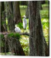 Two Baby Great Egrets And Nest Canvas Print