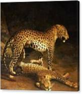 Two Leopards Lying In The Exeter Canvas Print