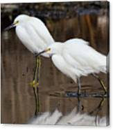 Two Snowy Egrets Canvas Print