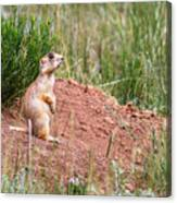 Utah Prairie Dog Canvas Print