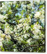 Vermont Apple Blossoms Canvas Print