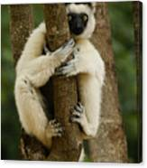 Verreaux's Sifaka Canvas Print