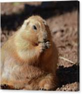 Very Large Overweight Prairie Dog Sitting In Dirt Canvas Print