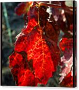Vine Leaf At Fall Canvas Print