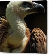 Vulture. Gyps Fulvus Canvas Print