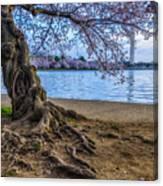 Washington Monument Cherry Blossoms Canvas Print