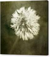 Water Drops On Dandelion Flower Canvas Print