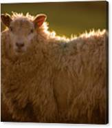Welsh Lamb In Sunny Sauce Canvas Print