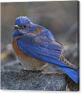 Western Bluebird Canvas Print