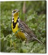Western Meadowlark Canvas Print