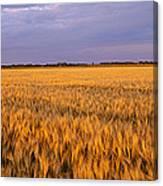 Wheat Crop In A Field, North Dakota, Usa Canvas Print