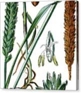 Wheat, Triticum Vulgare Canvas Print