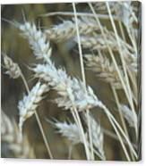 Wheats  Canvas Print