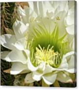 White Cactus Flower Canvas Print
