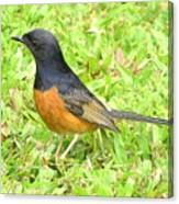 White-rumped Shama Canvas Print