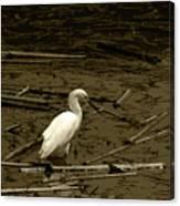 White Snowy Egret Canvas Print
