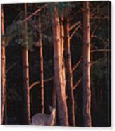 White-tail Deer Canvas Print