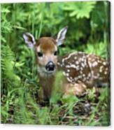 White-tailed Deer Odocoileus Canvas Print