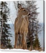 White-tailed Deer Three Canvas Print