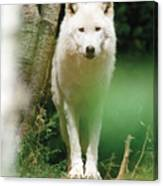 White Wolf Stare Canvas Print