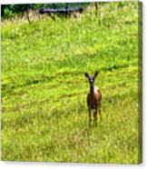 Whitetail Deer And Hay Rake Canvas Print
