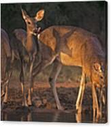 Whitetail Deer At Waterhole Texas Canvas Print