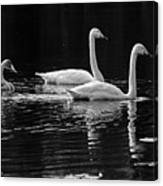 Whooper Swan Family Canvas Print