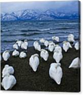 Whooper Swans In Winter Canvas Print