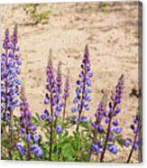Wild Lupine Flowers Canvas Print