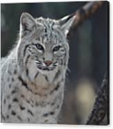 Wild Lynx Cat Canvas Print