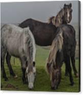 Wild Ponies On The Preseli Mountains Pembrokeshire Canvas Print