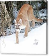 Winter Prowler Canvas Print