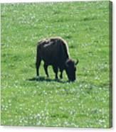 Wisconsin Buffalo Canvas Print