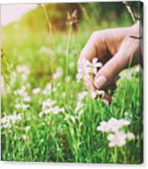 Woman Picking Up Flowers On A Meadow, Hand Close-up. Vintage Light Canvas Print