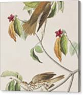 Wood Thrush Canvas Print