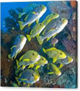 Yellow And Blue Striped Sweeltip Fish Canvas Print