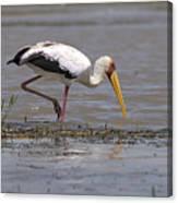 Yellow Billed Stork Canvas Print