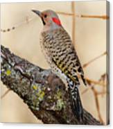 Yellow-shafted Northern Flicker Canvas Print
