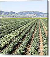 Young Broccoli Field For Seed Production Canvas Print