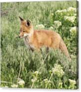 Young Red Tailed Fox Canvas Print