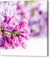 Young Spring Lilac Flowers Blooming Canvas Print