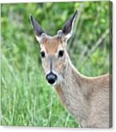 Young White-tailed Buck In Velvet Canvas Print
