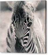 Zebra Colt In Spring Canvas Print
